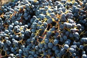 Wine Making and Picking Grapes in Napa